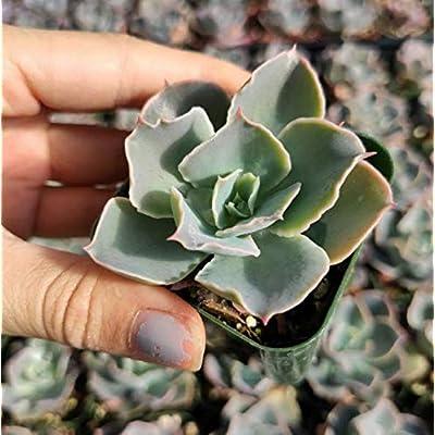 Fresh Rare Succulent Plant Echeveria Domingo Shown in 2