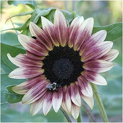 Seed Needs, Cherry Rose Sunflower (Helianthus annuus) Twin Pack of 50 Seeds Each : Garden & Outdoor
