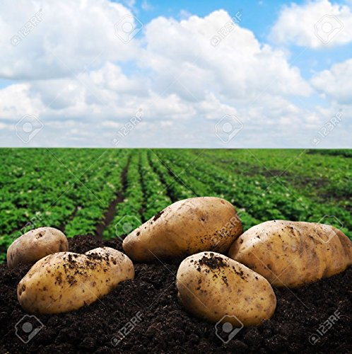 Simply Seed - 5 LB - Yukon Gold Potato Seed - Non GMO - Organic Grown - Order Now For Spring Planting by Simply Seed