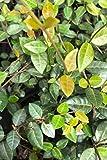 'Minima' Asiatic Jasmine, Trachelospermum asiaticum (1 Tray (18 - 4 inch plants))