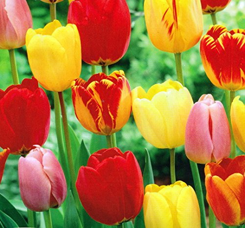 Tequila Sunrise Tulip - 25 Bulbs - Colorful Mix - 12/+ cm Bulbs
