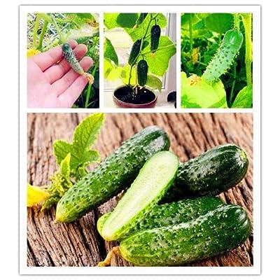 MAPPLEGREEN 20Pcs/Bag Cucumber Bonsai Mini Cucumber Organic Fruit Bonsai Easy to Grow Nutritious Potted Bonsai Vegetables Bonsai: Garden & Outdoor
