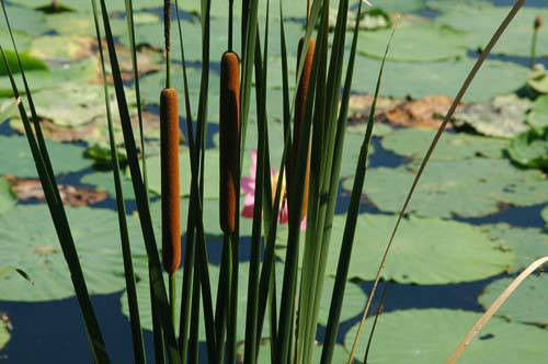 Narrow leaved Cattail Pond Plant Koi Pond Water garden Winter Hardy Bog Plant ()
