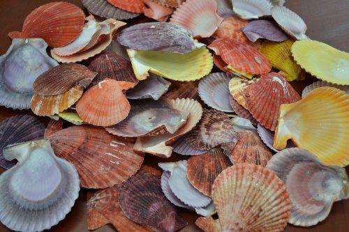 40 Pcs Assort Color Pecten Nobilis Sentis Shell Craft
