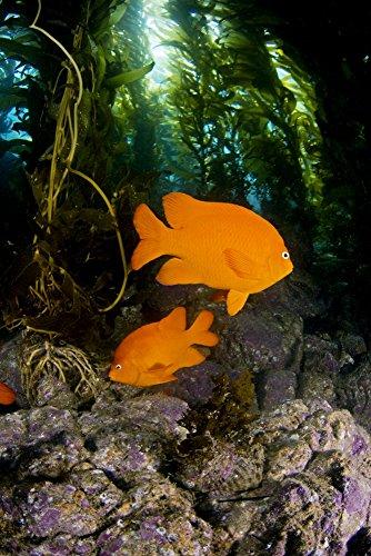 USA Garibaldi Fish (Hypsypops Rubicundus) In Kelp Forest (Macrocystis Pyrifera) California Poster Print (22 x 34) (Garibaldi Fish)