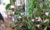 Tradescantia Blossfeldiana aka Cerinthoides- Wandering Jew Flowering Inch Plant FG