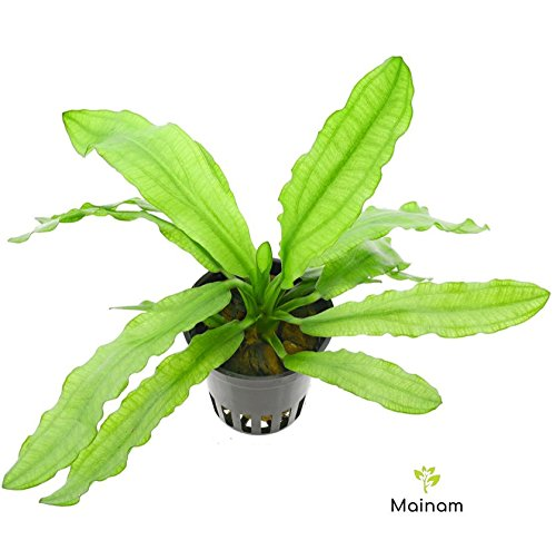 Mainam Echinodorus Martii Major Ruffled Amazon Sword Potted Freshwater Easy Live Aquarium Plant (Potted Sword)