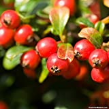 Gaultheria Procumbens (100 Seeds), 'Redwood'(TM), Wintergreen, Checkerberry.