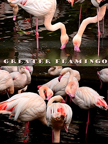 Watch Flamingo Bird - 8