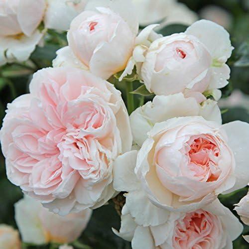 Kölles Beste! Rosas de Escalada Sabrina®, Color Crema, floreciente, aromática en Maceta de 6 L, Fresca de la jardinería