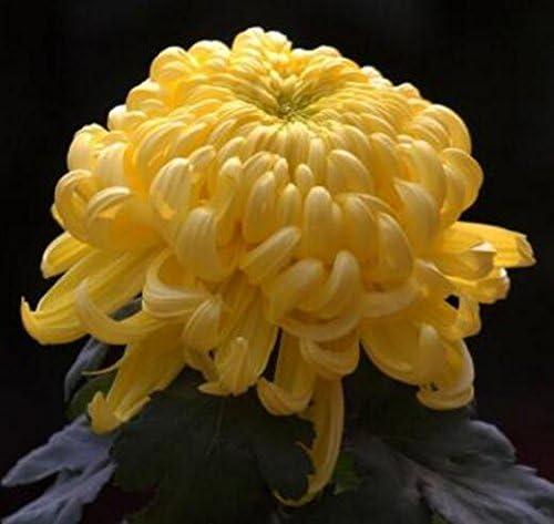 50 semillas / Semillas bolsa de la cubierta de tierra flor del crisantemo Semilla de plantas Bonsai margarita perenne para jardín 10: Amazon.es: Jardín