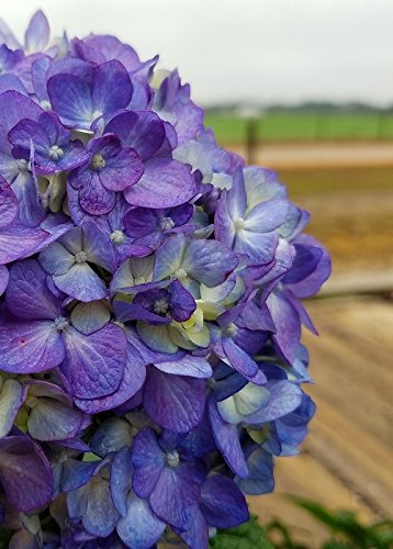 Endless Summer BloomStruck Hydrangea by Endless Summer Hydrangeas