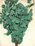 Fresh Cut Eucalyptus Silver Dollar for Weddings Fresh Greenery, 40 Stems Package