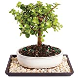 Brussel's Dwarf Jade Bonsai – Small (Indoor) with Humidity Tray & Deco Rock For Sale