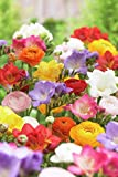 Van Zyverden Grand Freesia & Ranunculus Blend Set of 25 Bulbs