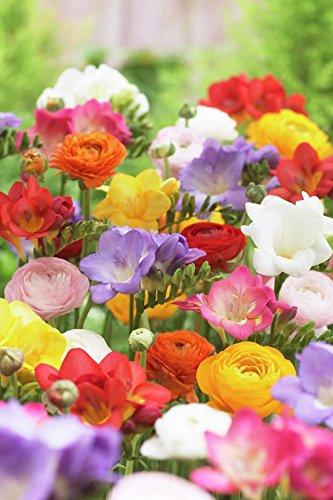 Van Zyverden Grand Freesia & Ranunculus Blend Set of 25 Bulbs