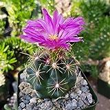 Thelocactus Bueckii Cactus Cacti Real Succulent Plant