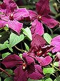 Perennial Farm Marketplace Clematis 'Polish Spirit' Hybrid Flowering Vine, 4 quart, Purple/Blue