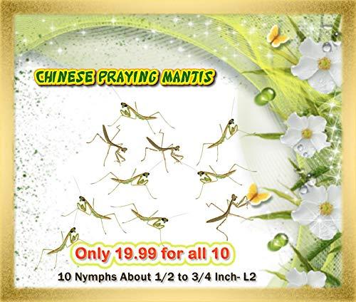 (Live (10) Chinese Praying Mantis Nymphs (L2 - L3 Size))