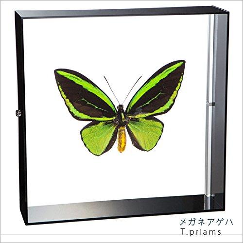 蝶の標本 メガネアゲハ T.priams アゲハチョウ アクリルフレーム 黒 B01MZ8F7BG