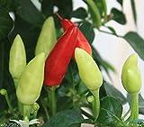 1000 seeds Little Elf Hot Pepper ( Capsicum annuum ) Organically Grown