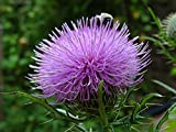 Cirsium discolor Field Thistle 25 Seeds Native Biennial Wildflower