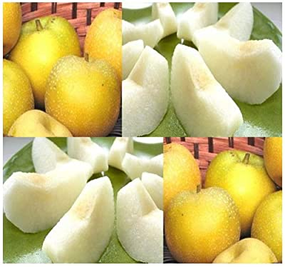 5 x Japanese Chinese KOREAN Asian Sand Pear - TREE Seed SEEDS - VERY JUICY - P. pyrifolia - HIGHLY PRIZED FRUITS - Cold Hardy Zones 6-9 - By MySeeds.Co
