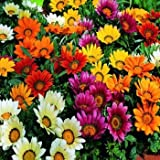 Outsidepride Gazania Garden Leader Mix - 100 seeds
