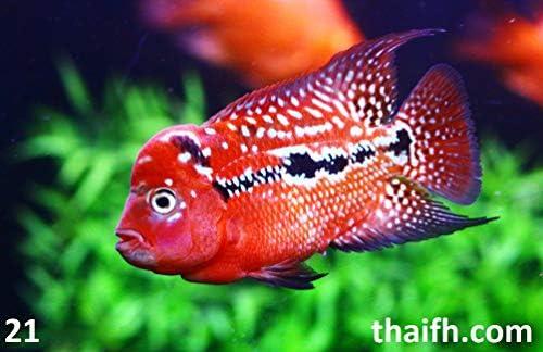 Amazon com : thaiFH com Live Flowerhorn Fish Sale (Cichlid