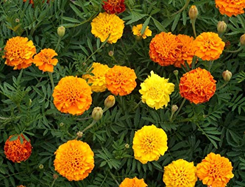 David's Garden Seeds Flower Marigold Petite Mix SL8771 (Multi) 500 Non-GMO, Open Pollinated Seeds ()