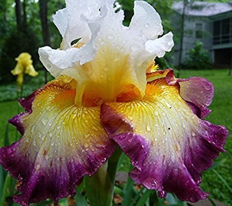 Lulan Pretty Bearded Iris, Reblooming German Iris, Rhizomes, 5 Bulb