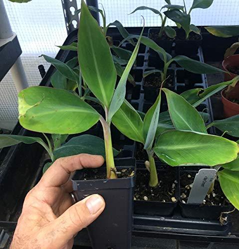 Ice Cream Banana Plant - Live Banana Tree''Ice Cream'' Rare Banana Plant by Natures Garden Nursery (Image #5)