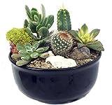 New Mexico Steer Head Cactus & Succulent Garden - Black Glazed Pot -Easy to grow