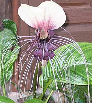 Amazon Tacca Nivea White Bat Flower Bat Head Lily