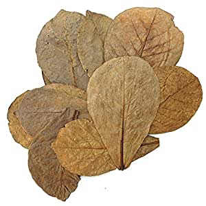 Tantora Premium Grade Catappa Indian Almond Leaves Size Medium 50 Leaves 5-7 Inches