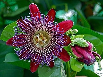 Sweet Granadilla Passion Flower 15 Seeds
