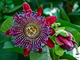 Sweet Granadilla Passion Flower 15 Seeds
