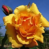 Postillion® ADR Rose duftende Strauchrose