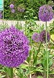 Tropica - BZ-Zierlauch - Gladiator - 3 Stück Vorteilspack (Allium giganteum) - 3 Zwiebeln