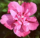 "Hibiscus Syriacus, Sanchoyo Potted Plant 4-10"" Tall, Starter Plant, Great for any Garden"