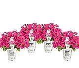 4 Pack, 4.25 in. Grande Proven Winners Supertunia Vista Fuchsia (Petunia) Live Plant, Pink Flowers