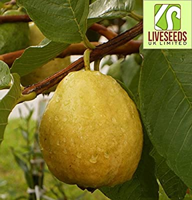Liveseeds - Florida Tropical White/Yellow Pear Guava Fruit Tree 10 Seeds