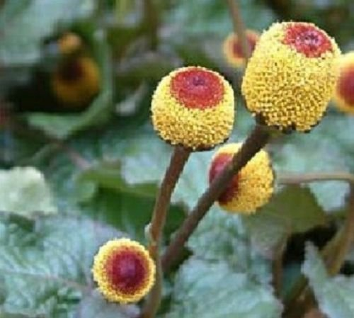 250 seeds of Toothache Plant Seeds (Spilanthes Oleracea) ...