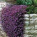 Outsidepride Aubrieta Cascade Purple Seeds