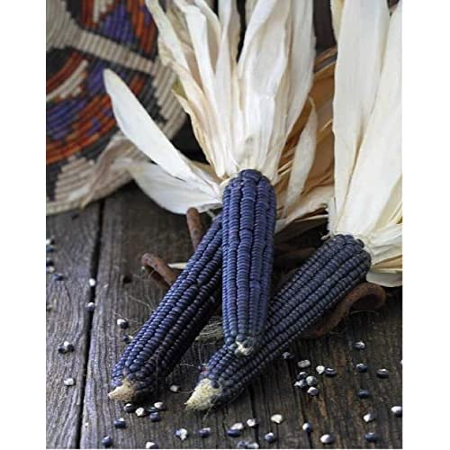 Corn 'Hopi Blue Dent' (Zea Mays) Organic Vegetable Heirloom, 5g (0.17oz) Seeds