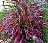☆PURPLE FOUNTAIN GRASS SEEDS☆ PERINEAL Hardy Purple GREAT FILLER 50+