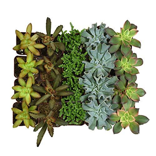 Altman Plants Assorted Live bulk Mini Succulents Collection Party favors, DIY terrariums, 2 Inch, 20 Pack by Altman Plants (Image #1)