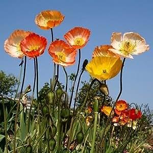 Poppy Iceland Flower Seeds (Papaver Nudicaule) 200+Seeds