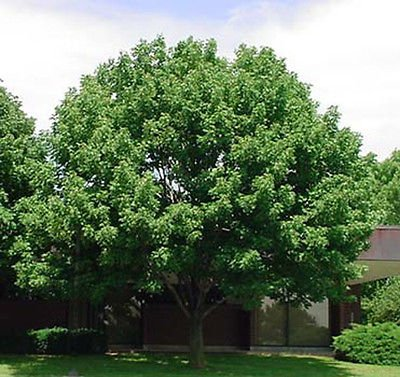 100x White Ash Tree Seeds