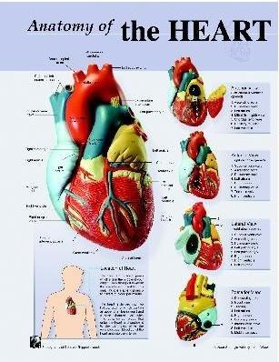 Amazon.com: Human Heart Anatomy Poster;19 x 24: Prints: Posters & Prints